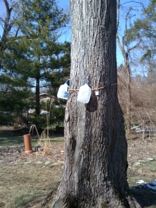 Sap jugs on the tree